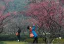 """又入超梅季,在""""浙""""过大年 2021第十三届杭州超山梅花节正式启"""